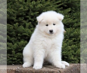 Samoyed Puppy for sale in FREDERICKSBG, OH, USA