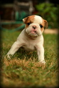 Bulldog Puppy For Sale in PICKERINGTON, OH,