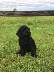 Poodle (Standard) Puppy For Sale in SPRINGDALE, AR, USA