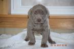 Labrador Retriever Puppy For Sale in FREDERICKSBURG, OH, USA