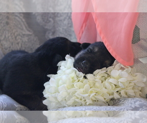 German Shepherd Dog Puppy for sale in MONDOVI, WI, USA