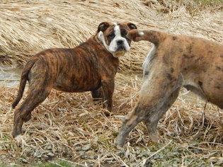 Alapaha Blue Blood Bulldog Puppy For Sale in WELLINGTON, OH, USA