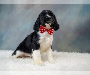 English Springer Spaniel Puppy for Sale in NEWARK, Ohio USA