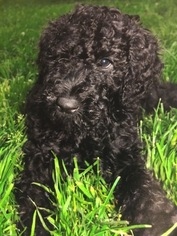 Poodle (Standard) Puppy For Sale in CHARLESTOWN, RI