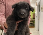 Puppy 1 Belgian Sheepdog