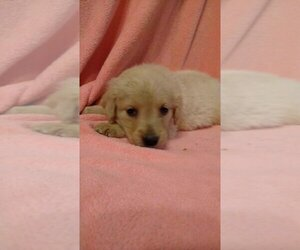 Golden Retriever Puppy for sale in SPENCER, TN, USA