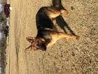 German Shepherd Dog Puppy For Sale in LAURINBURG, NC, USA