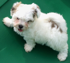 Havanese Puppy For Sale in FENTON, MO, USA