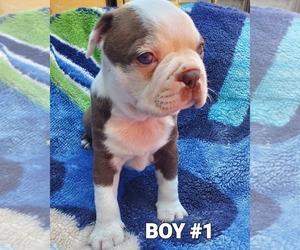 Boston Terrier Puppy for Sale in PICO RIVERA, California USA