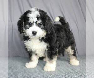 Bernedoodle-Poodle (Miniature) Mix Puppy for Sale in SUNBURY, Pennsylvania USA