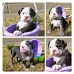 Olde English Bulldogge Puppy For Sale in DERBY, Kansas,