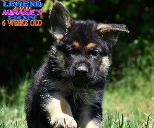 German Shepherd Dog Puppy for Sale in MURRIETA, California USA