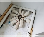 Small Photo #81 Labrador Retriever Puppy For Sale in NEW LENOX, IL, USA