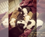 Olde English Bulldogges puppies