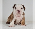 Puppy 8 Bulldog