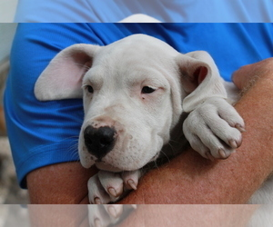 Dogo Argentino Puppy for Sale in WESLEY CHAPEL, Florida USA