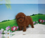 Small #7 Poodle (Toy)