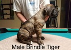 Cane Corso Puppy For Sale in HERNANDO, MS