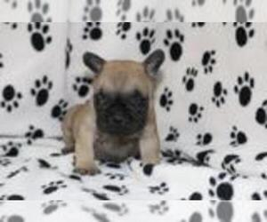 French Bulldog Dog for Adoption in PALOS VERDES ESTATES, California USA
