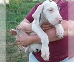 Puppy 0 Great Dane