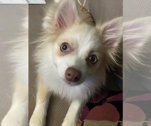 Pomeranian Puppy for sale in RIDGEWOOD, NY, USA