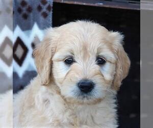 Goldendoodle (Miniature) Puppy for sale in ELIZABETHVILLE, PA, USA