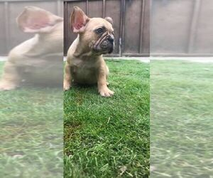 French Bulldog Puppy for Sale in CHULA VISTA, California USA