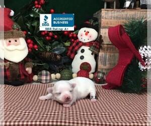 Maltese Puppy for Sale in WINNSBORO, Louisiana USA