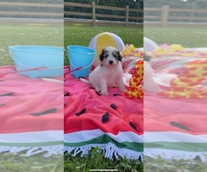 Pyredoodle Puppy for Sale in TRENTON, Georgia USA