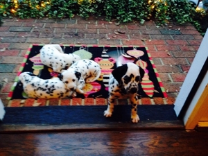 Dalmatian Puppy for sale in Pacolet, SC, USA