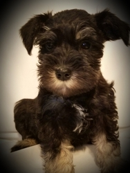 Schnauzer (Miniature) Puppy For Sale in GRAND BLANC, MI, USA