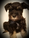Schnauzer (Miniature) Puppy For Sale in GRAND BLANC, MI, USA