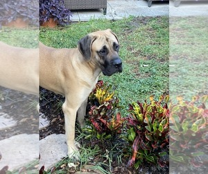 Mastiff Puppy for sale in FORT LAUDERDALE, FL, USA