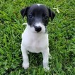 Whippet Puppy For Sale in SAINT PETERS, MO, USA