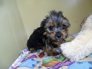 Yorkshire Terrier Puppy for sale in PATERSON, NJ, USA