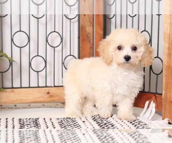 Medium Photo #3 Poochon Puppy For Sale in NAPLES, FL, USA