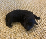 Small Photo #1 Aussiedoodle Puppy For Sale in ARDMORE, OK, USA