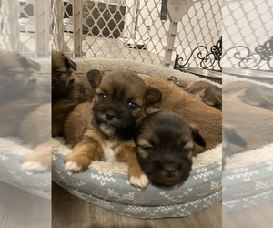 Shiranian Puppy for sale in FARR WEST, UT, USA