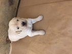 Golden Retriever Puppy For Sale in SUFFOLK, VA, USA