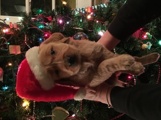 Golden Retriever Puppy for sale in LAKESIDE, CA, USA