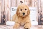 Goldendoodle Puppy For Sale in BEL AIR, MD, USA