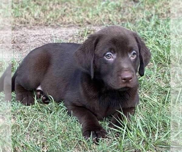 Medium Photo #1 Labrador Retriever Puppy For Sale in HIALEAH, FL, USA