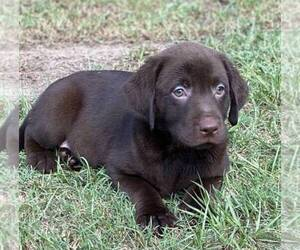 Labrador Retriever Puppy for Sale in HIALEAH, Florida USA