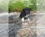 Puppy 3 Border Collie-Unknown Mix