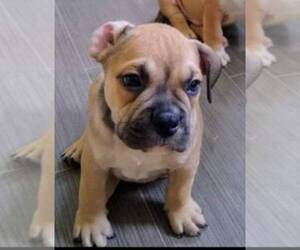 American Bully Puppy for sale in DUQUESNE, PA, USA