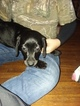 Dachshund-Labrador Retriever Mix Puppy For Sale in GREENVILLE, OH, USA