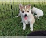 Puppy 2 Pomsky