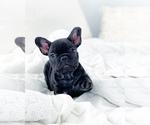 Small Photo #6 French Bulldog Puppy For Sale in CORONA, CA, USA