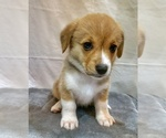 Puppy 4 Pembroke Welsh Corgi
