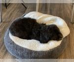 Small #11 Pekingese-Poodle (Toy) Mix